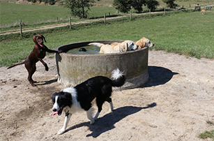 Dogs water trough