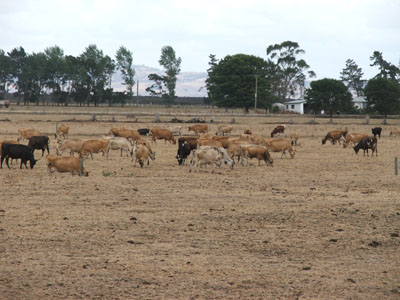 Cattle grazing during drought